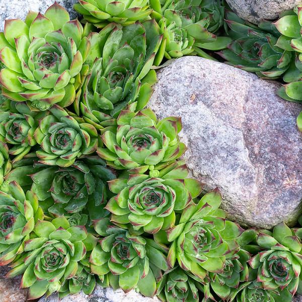 Joubarbe (Sempervivum) Vert