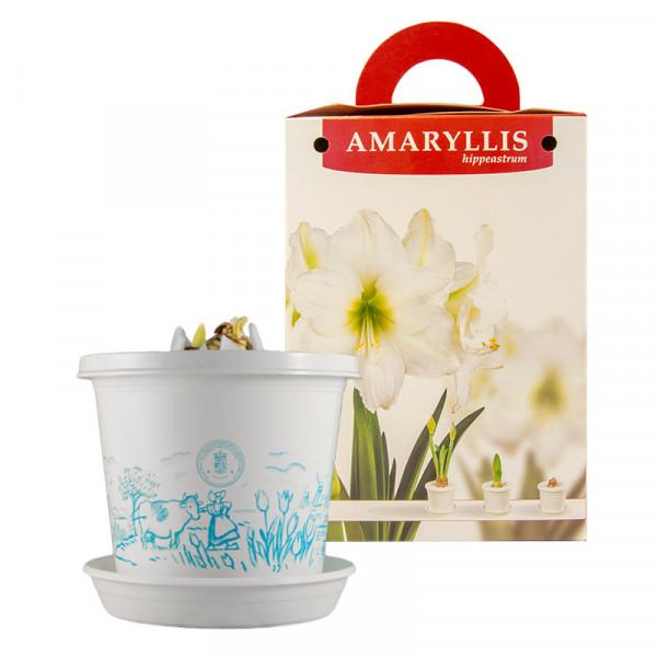 Amaryllis Arctic Nymph en pot et en boite cadeau