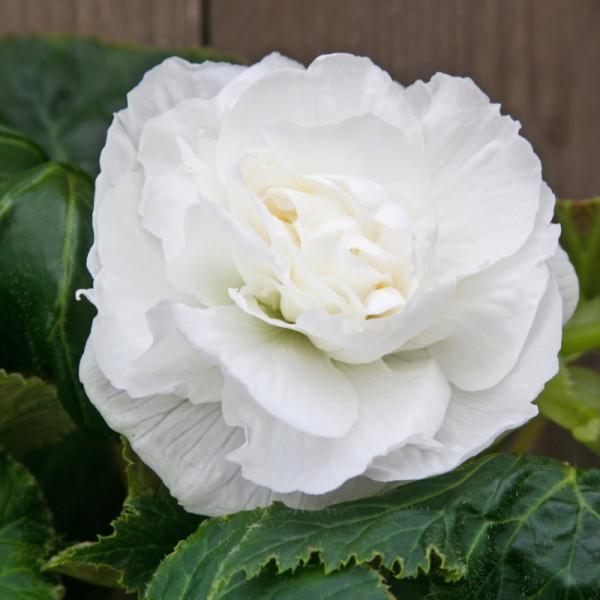 Bégonia double blanc