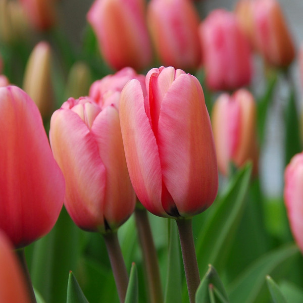 Emballage XL Tulipe Pink Impression®