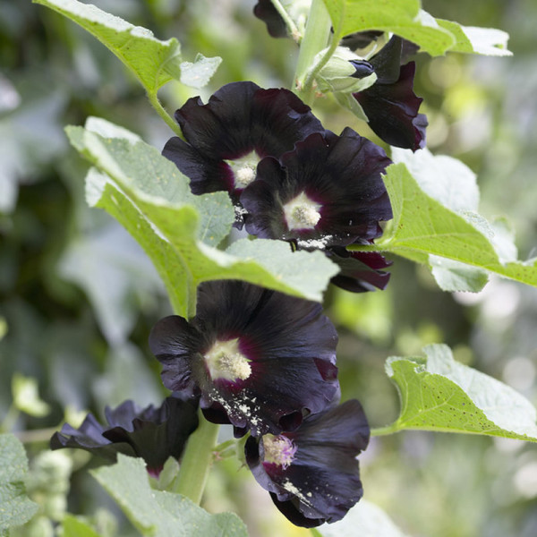Rose-trémière (Alcea rosea) 'Nigra'