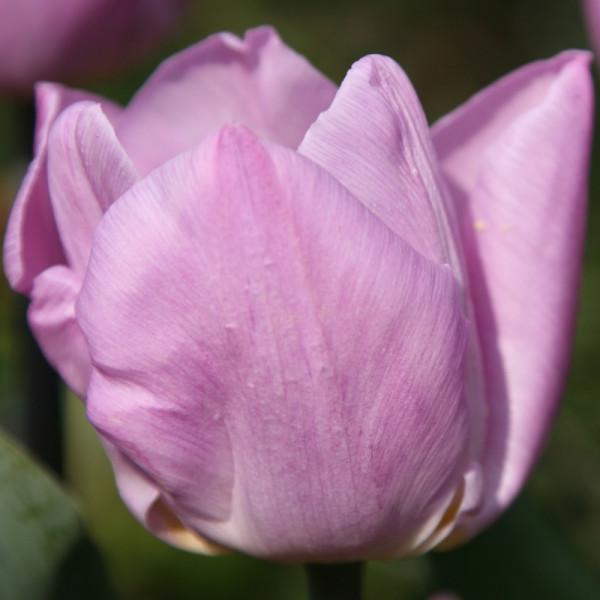 Tulipe Candy Prince