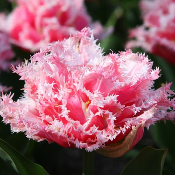 Tulipe Queensland