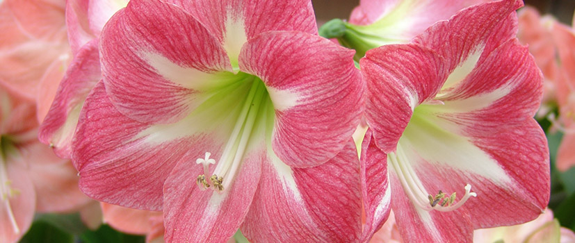 Simple Amaryllis