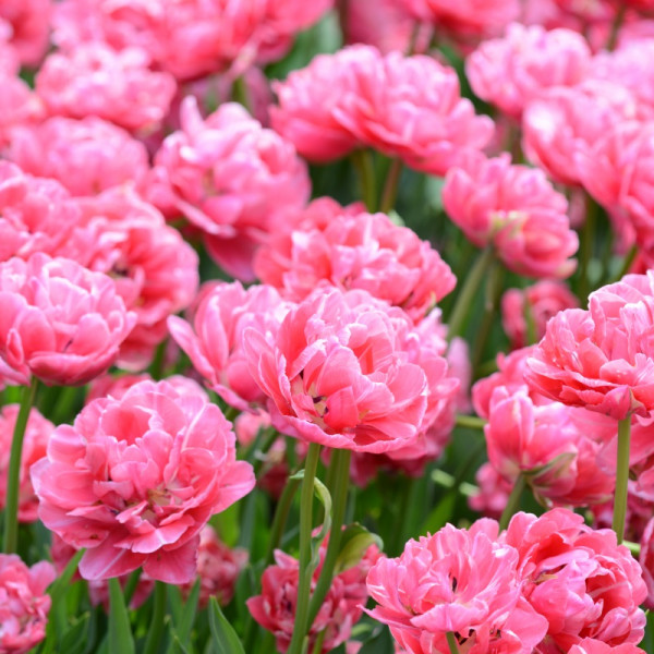 Tulipe Aveyron