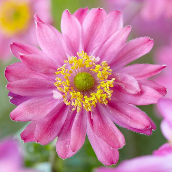 Anemone hybr. 'Pamina'