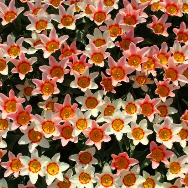 Tulipe Analita