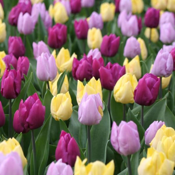 Mélange de tulipes à floraison moyenne