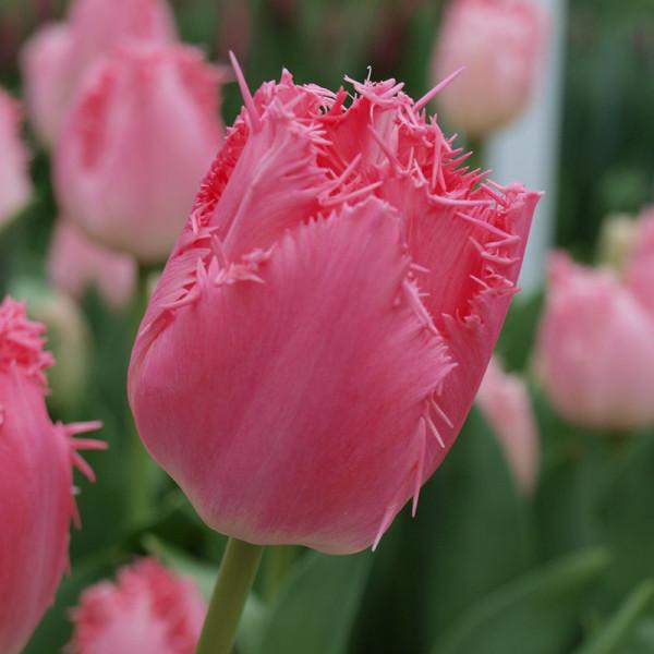 Tulipe Cacharel