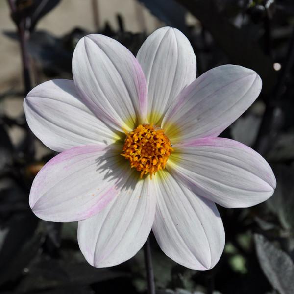 Dahlia Dahlegria Blanc