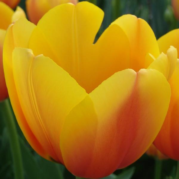 Tulipe World Peace