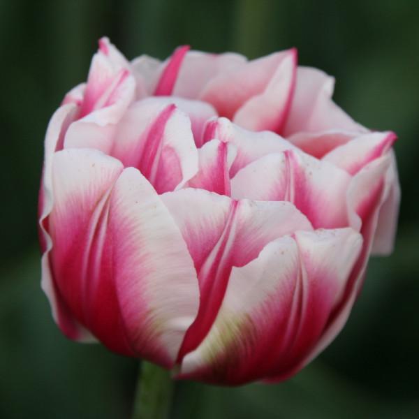 Tulipe Fantasy Lady