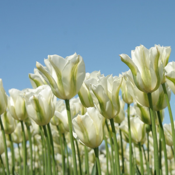 Tulipe Spring Green