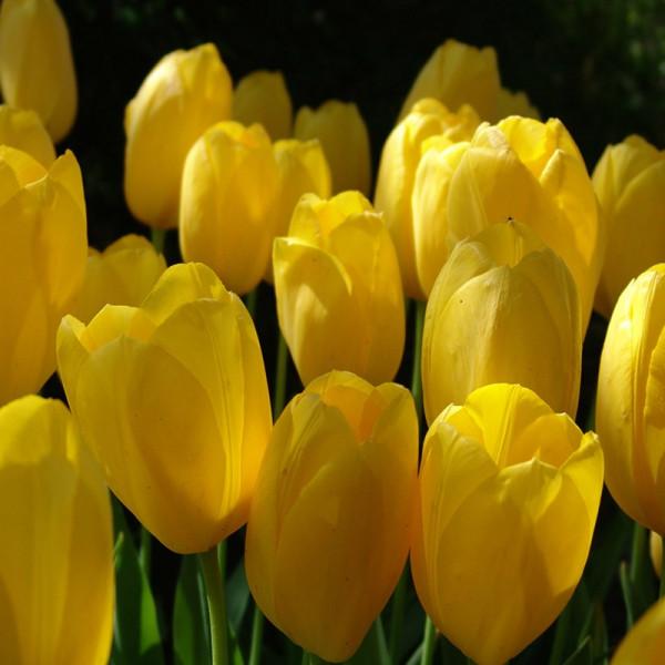 Emballage XL Tulipe Big Smile®