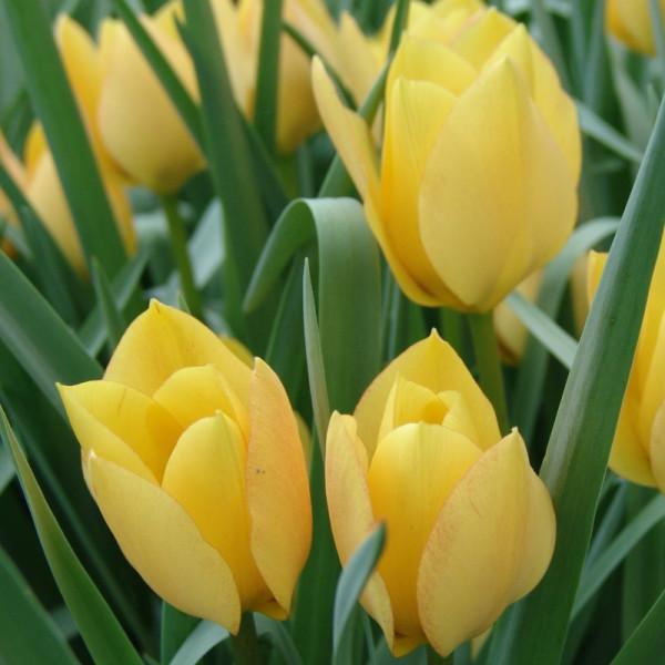 Tulipe batalinii Bright Gem