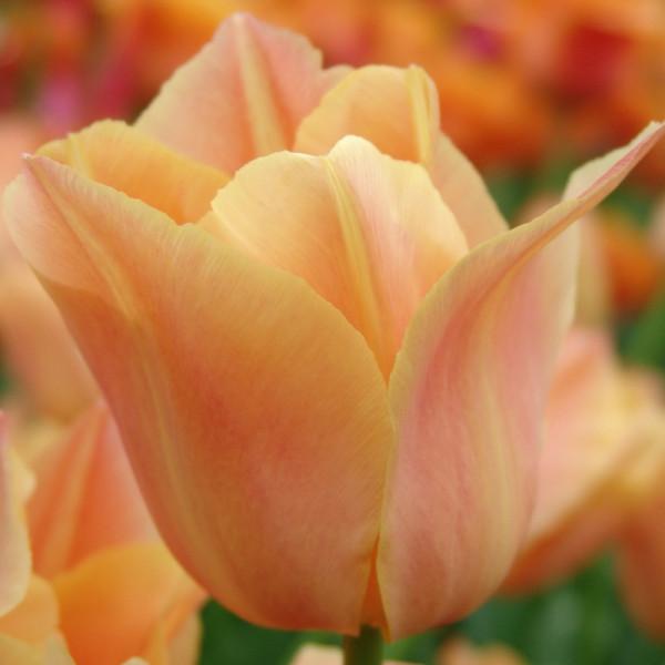 Tulipe Stunning Star