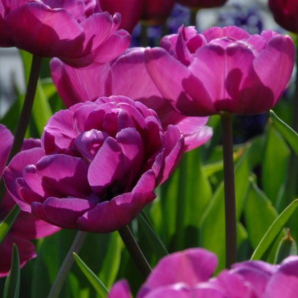 Tulipe Blue Diamond