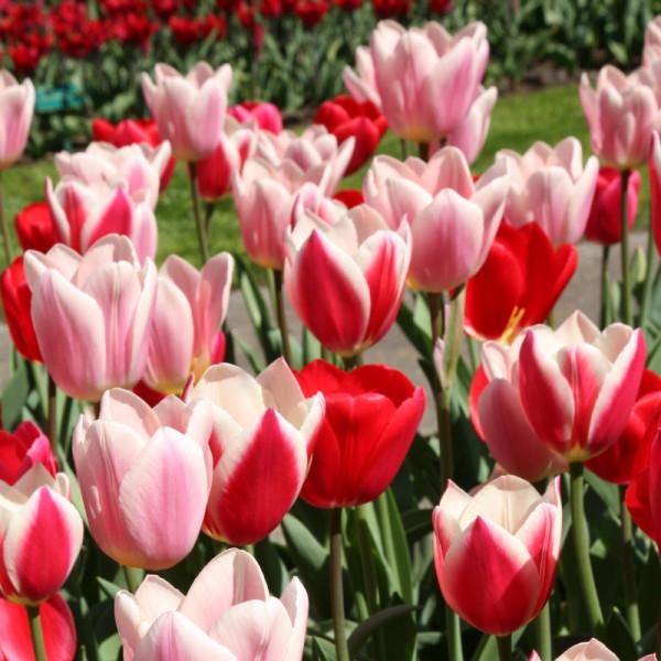 Tulipe Delight Mélange