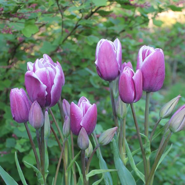 Tulipe Purple Elegance