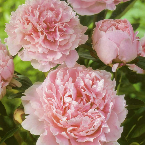 Pivoine lactiflora 'Sarah Bernhardt'