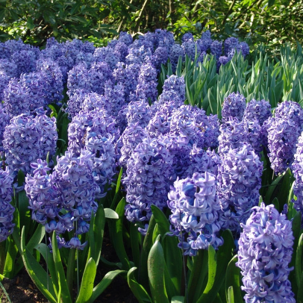 Jacinthe Delft Blue