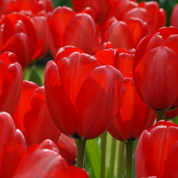 Emballage XL Tulipe Red Impression®