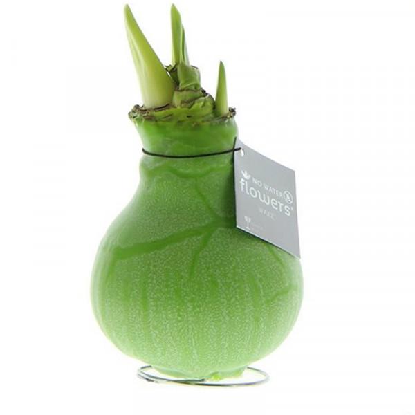 Wax Amaryllis Marble Vert