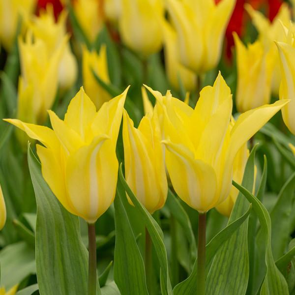 Tulipe Florijn Chic