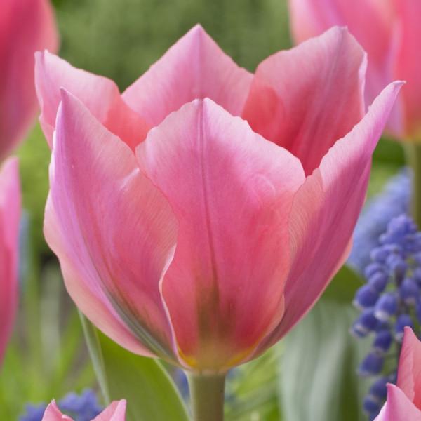 Tulipe Albert Heijn