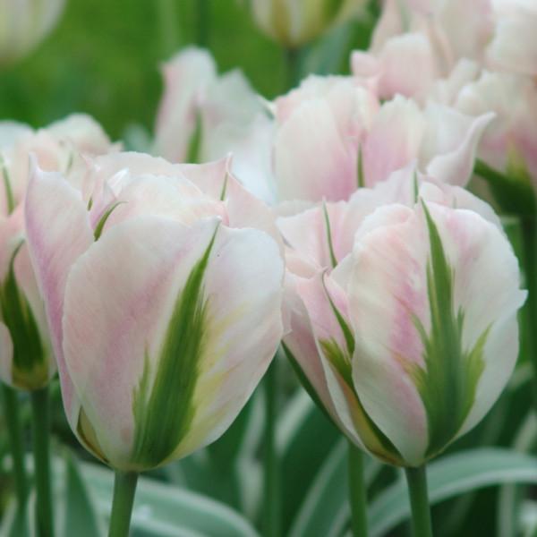 Tulipe China Town