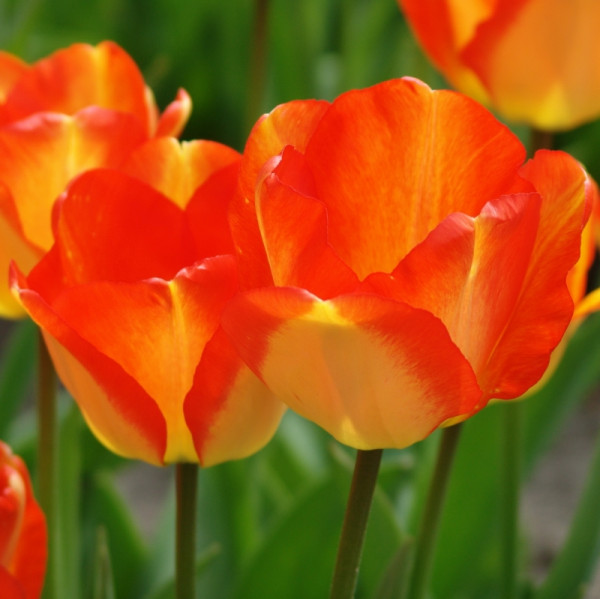 Tulipe American Dream