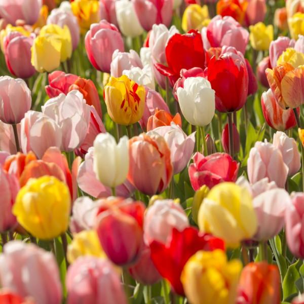 Tulipe Darwin Hybrid mélange