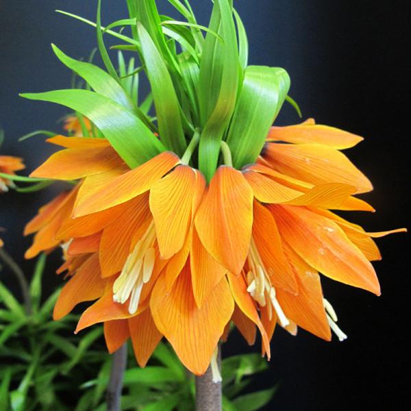 Frittilaire Orange Beauty