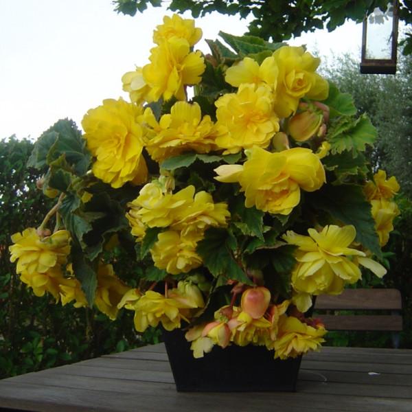 Bégonia pendula jaune