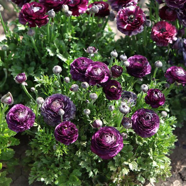 Ranunculus Aviv Violet