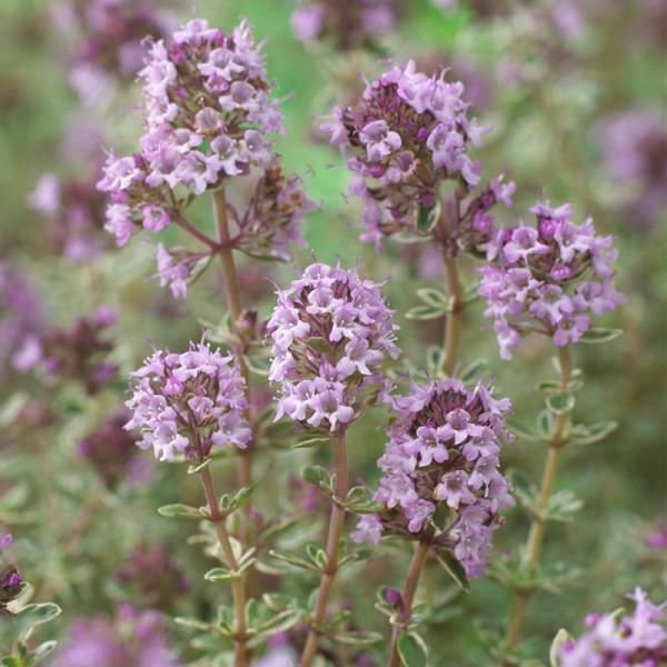 Thym (Thymus vulg.) 'Silver Posie'