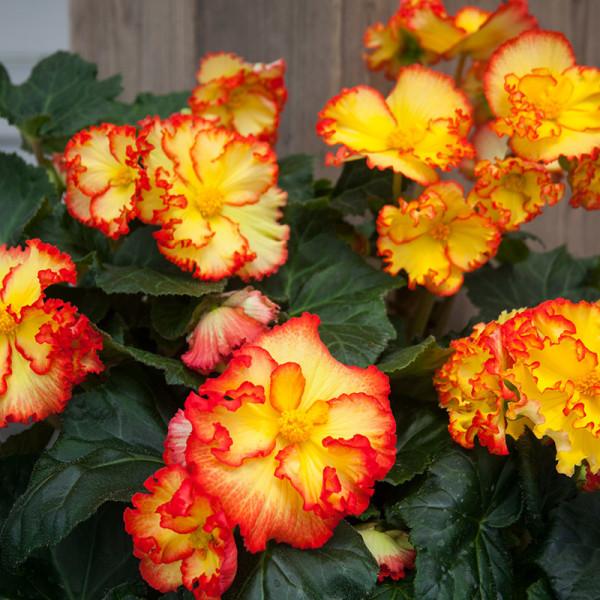 Begonia Crispa Margina geel-rood