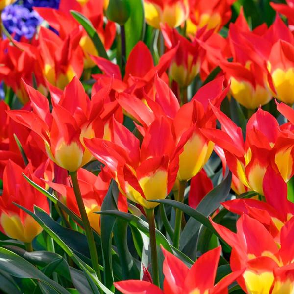 Tulipe Flames Mystery