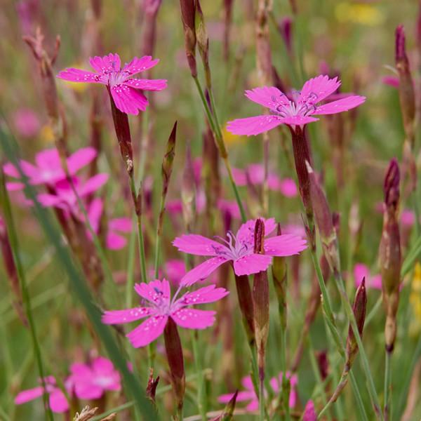 Oeillet (Dianthus delt.) 'Splendens'