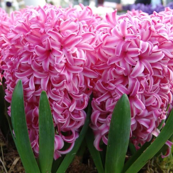 Jacinthe Pink Pearl