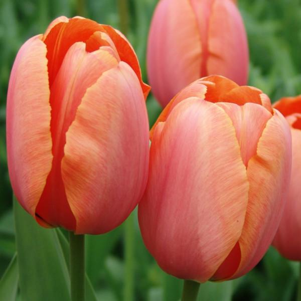 Tulipe Apricot Impression