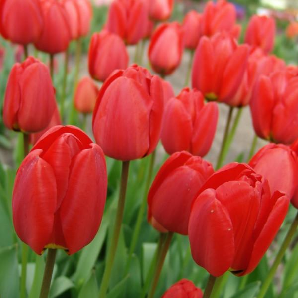 Tulipe Parade