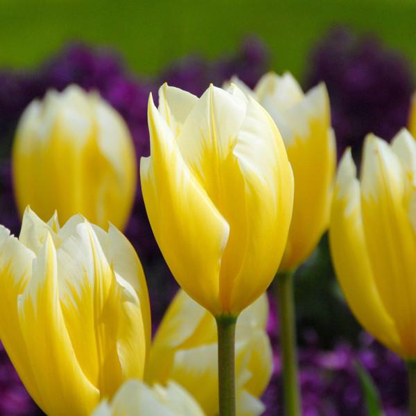 Tulipe Sweetheart
