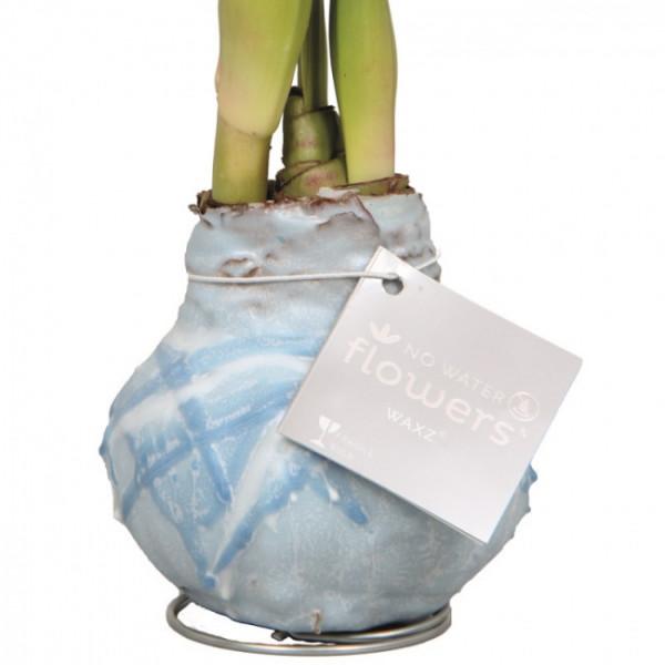 Wax Amaryllis Monet Bleu