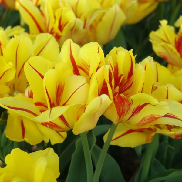 Tulipe Monsella