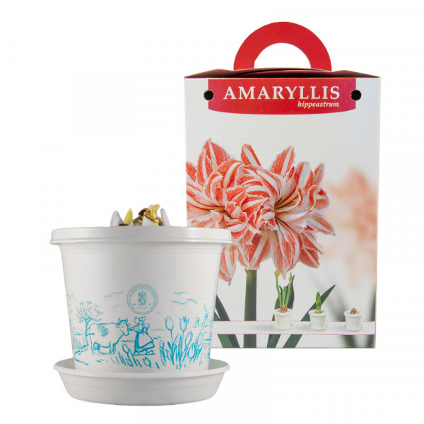 Amaryllis Dancing Queen en pot et en boite cadeau