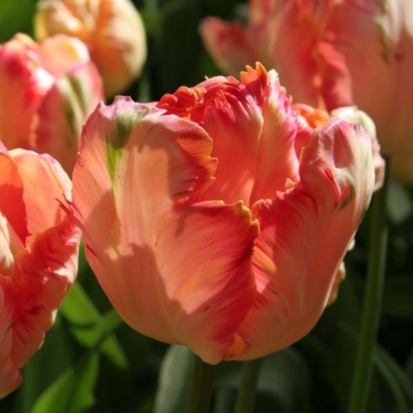 Tulipe Apricot Parrot
