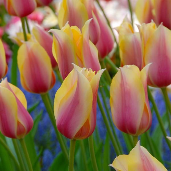 Tulipe Blushing Lady