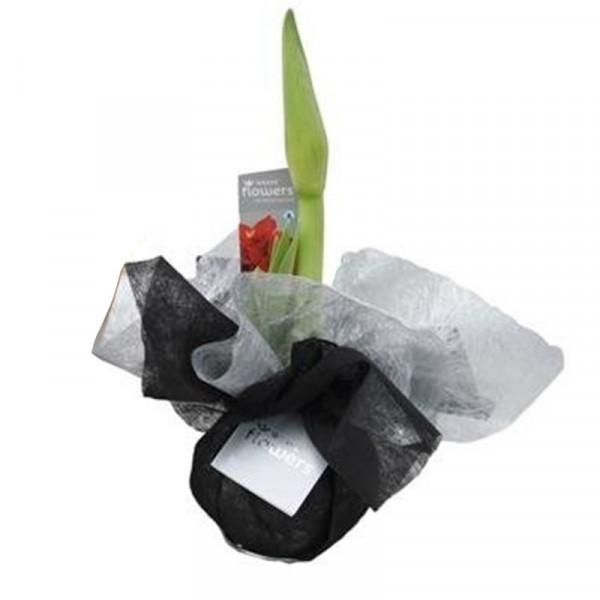 Wax Amaryllis Xmas Wrapz Noir