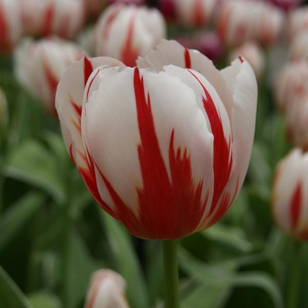 Tulipe Happy Generation®